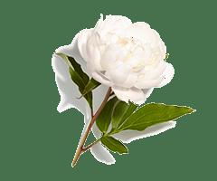 Witte pioenroes